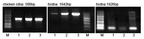 golden MLV反转录酶比较图