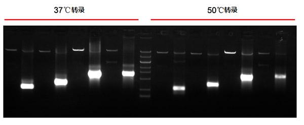 T7耐热RNA聚合酶