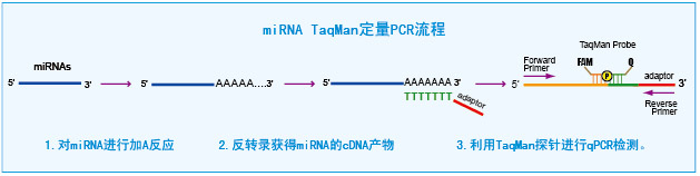 taqMan microRNA定量PCR检测