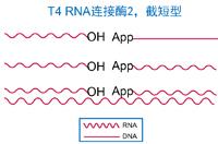 T4 RNA连接酶2