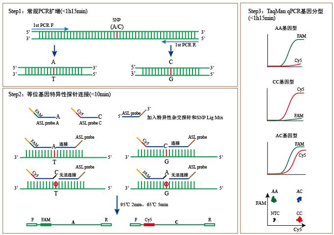 SNP基因分型试剂盒