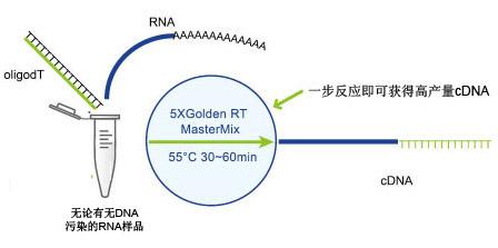 一步法cdna反转录试剂盒