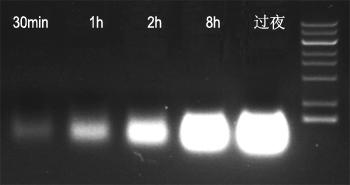 sgRNA体外合成