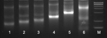 T7高产RNA体外合成试剂盒