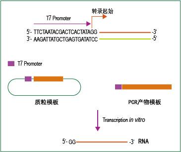 T7高产RNA合成试剂盒