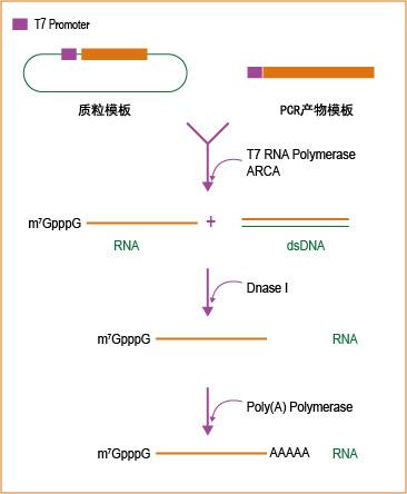 T7 ARCA加帽加尾 mRNA合成试剂盒