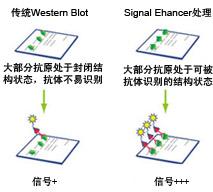 Western Blot信号增强剂原理