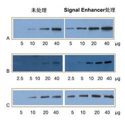 Western Blot信号增强剂