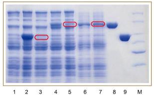 pcold-sumo载体提高蛋白的可溶性表达