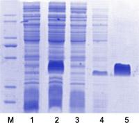 Ni-NTA纯化树脂